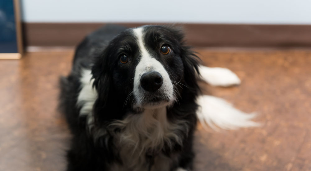 Molly – Border Collie